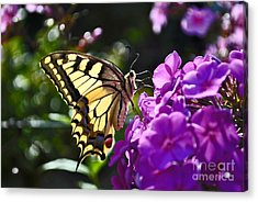 Swallowtail On A Flower Acrylic Print by Maja Sokolowska