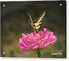 Swallowtail On A Zinnia Acrylic Print by Debby Pueschel