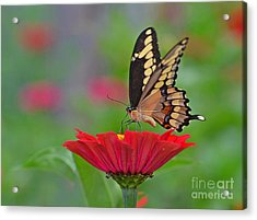 Swallowtail On A Zinnia Acrylic Print
