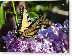 Swallowtail On Lilac Acrylic Print