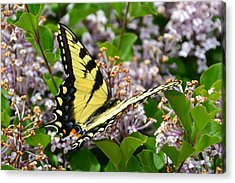 Swallowtail On Lilacs Acrylic Print