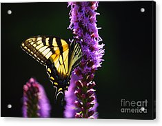 Swallowtail Tail Butterfly  Acrylic Print