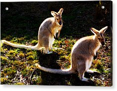 Red-necked Wallabies Acrylic Print