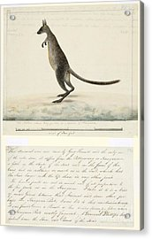Swamp Wallaby, 18th Century Acrylic Print by Natural History Museum, London