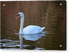 Swan 6 Acrylic Print