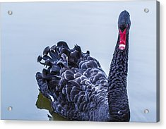 Acrylic Print featuring the photograph Swan 1 by Naomi Burgess