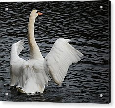 Swan Airing Out Wings 2 Acrylic Print