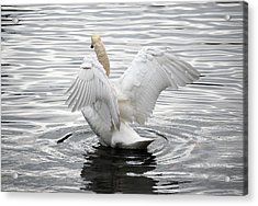 Swan Airing Out Wings 3 Acrylic Print