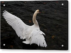Swan Airing Out Wings Acrylic Print