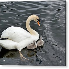 Swan And Cygnets Acrylic Print