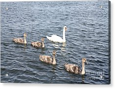 Acrylic Print featuring the photograph Swan And His Ducklings by John Telfer