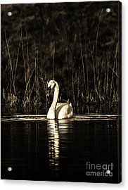 Acrylic Print featuring the photograph Swan B/w by Rose-Maries Pictures
