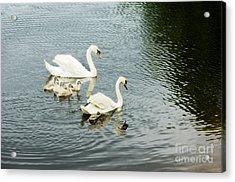 Swan Family Acrylic Print by Jim  Calarese