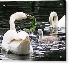 Swan Family Meal Acrylic Print