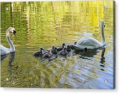 Swan Family Acrylic Print by Michael Mogensen