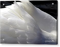 Swan Feathers Acrylic Print