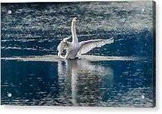 Swan Glory Acrylic Print