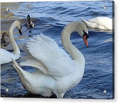 Swan Grace Acrylic Print by Pema Hou