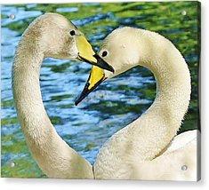 Swan Heart Acrylic Print by Paulette Thomas