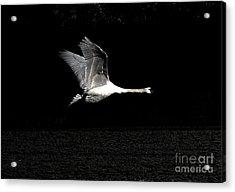Swan In The Night Acrylic Print