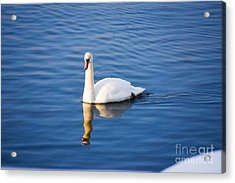Swan In Winter Acrylic Print by Gloria Pasko