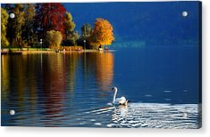 Beautiful Autumn Swan At Lake Schiliersee Germany  Acrylic Print