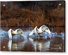 Swan Lake Acrylic Print by Mike  Dawson