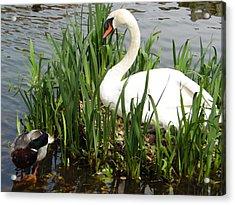 Swan Nesting Acrylic Print