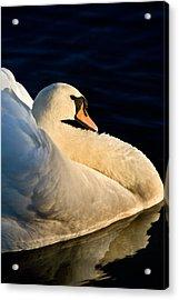 Swan On Lake Acrylic Print