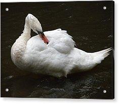 Swan One Acrylic Print by Teresa Tilley