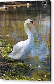 Swan Portrait Acrylic Print