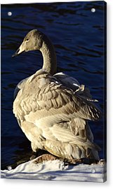 Swan Sits And Looks Out Over The Lake Acrylic Print by Tommytechno Sweden