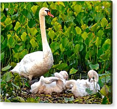 Swan Song Acrylic Print by Frozen in Time Fine Art Photography