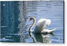 Swan Acrylic Print by Steven Sparks