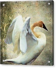 Swan - Summer Home Acrylic Print