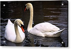 Swan Two Acrylic Print by Elf Evans