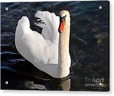 Swan With A Golden Neck Acrylic Print by Susan Wiedmann
