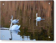 Swans 2 Acrylic Print
