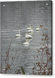 Swans A Swimming Acrylic Print