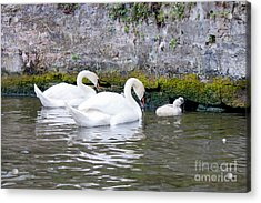 Swans And Cygnets In Brugge Canal Belgium Acrylic Print