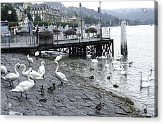Swans And Ducks In Lake Lucerne In Switzerland Acrylic Print by Ashish Agarwal