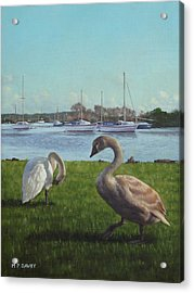 swans at Christchurch harbour Acrylic Print
