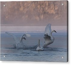 Acrylic Print featuring the photograph Swans Chasing by Patti Deters