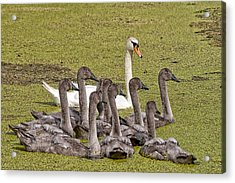 Swans Family Acrylic Print