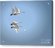 Swans In Flight Acrylic Print