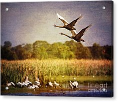 Swans In Flight Acrylic Print