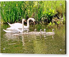 Swans Acrylic Print by Janice Drew