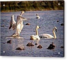 Swans Acrylic Print by Karma Ganzler