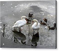 Swans On Thin Ice Acrylic Print