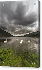 Swans Swimming In The Water Of Loch Acrylic Print by John Short / Design Pics